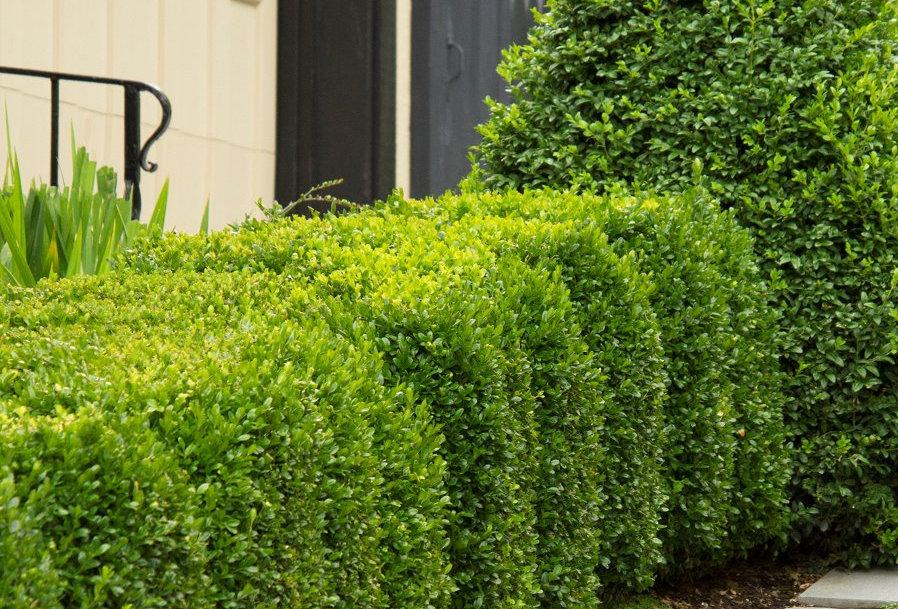 Green Mountain Boxwood   3G