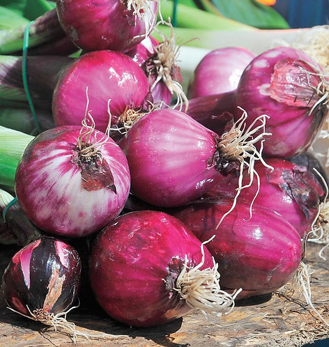ONION   RED ZEPPELIN   Box with 8 Plants
