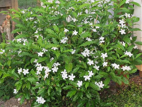 Jasminum sambac (Arabian jasmine or Sambac jasmine)