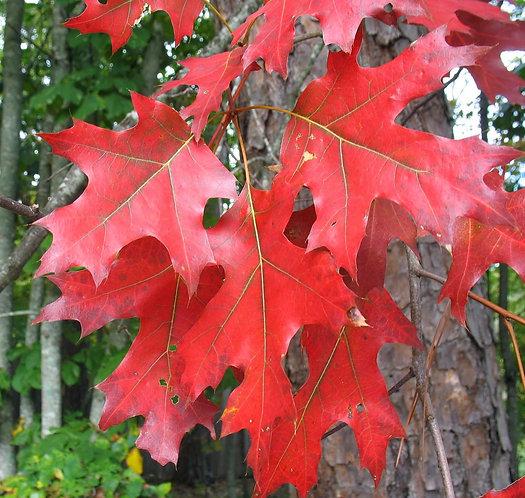 Red Oak Quercus rubra  200cm