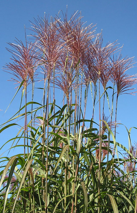 Miscanthus 'Giganteus' - Giant Chinese Silver Grass