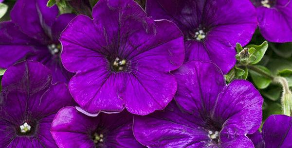 Petunia Supertunia®Royal Velvet
