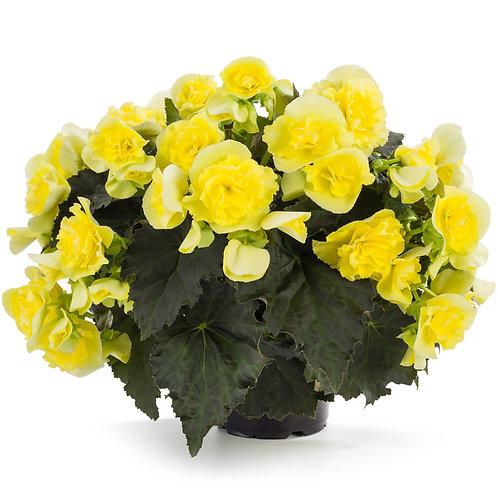 Begonia Solenia® Rieger Yellow