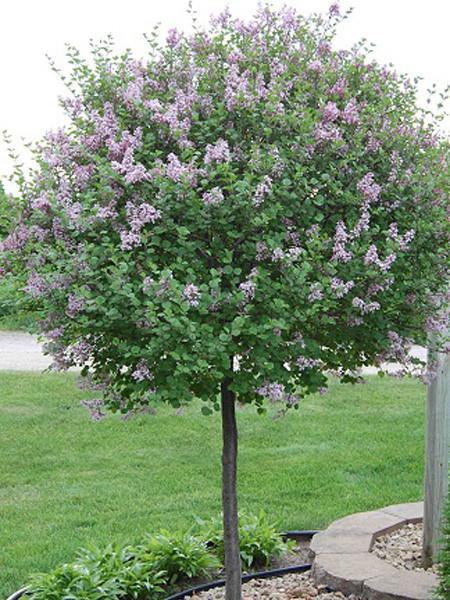 Dwarf Korean Lilac   125cm10G