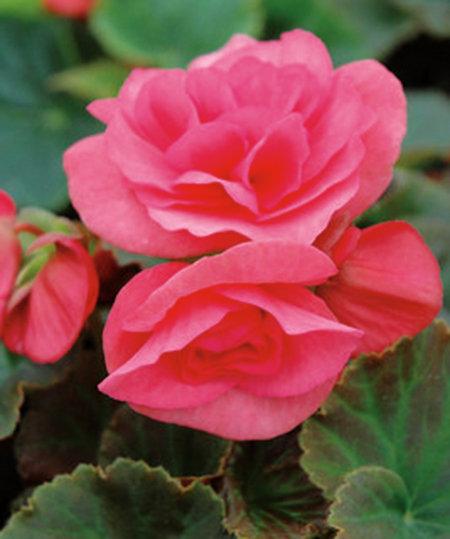 Begonia Solenia® Rieger Light Pink