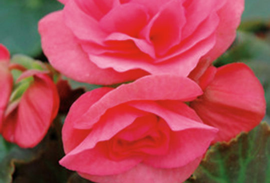 Begonia Solenia® Rieger Light Pink