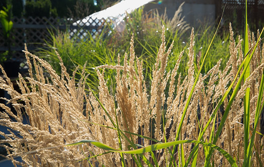 Calamagrostis × acutiflora 'Karl Foerster' Feather Reed Grass