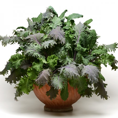 KALE MIX  KALE STORM MIX   Box with 8 Plants