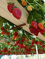 organic strawberries at black forest garden centre