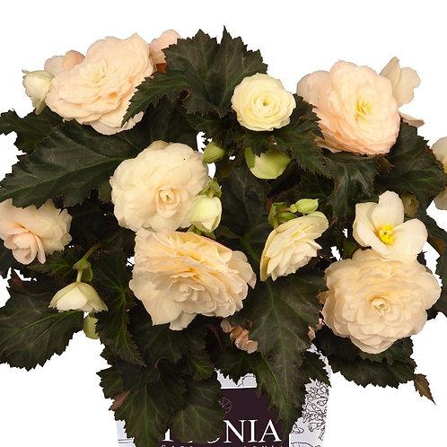 Begonia I'Conia®Portofino Champange
