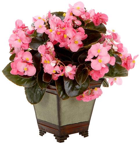 Begonia Surefire®Rose