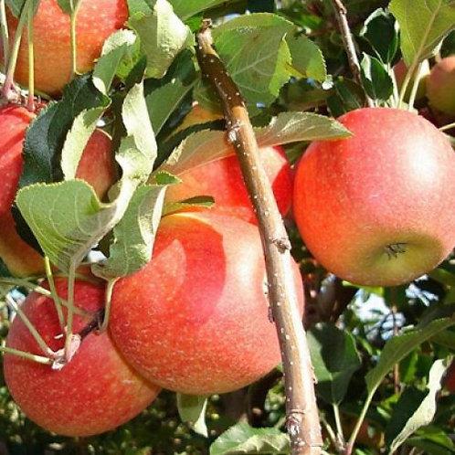 Gala Apple Tree Malus 'Gala'   7 Gal