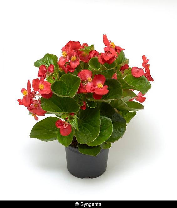 Begonia Tophat™ Scarlet