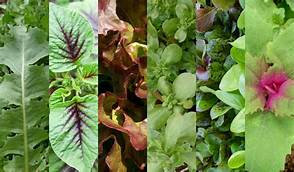 SALAD MIX  ENDLESS SUMMER   Box with 8 Plants
