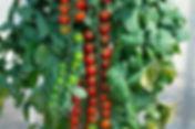 Enjoying tomatos with our Black Forest Cherry Tomato (Rapunzel) plant.