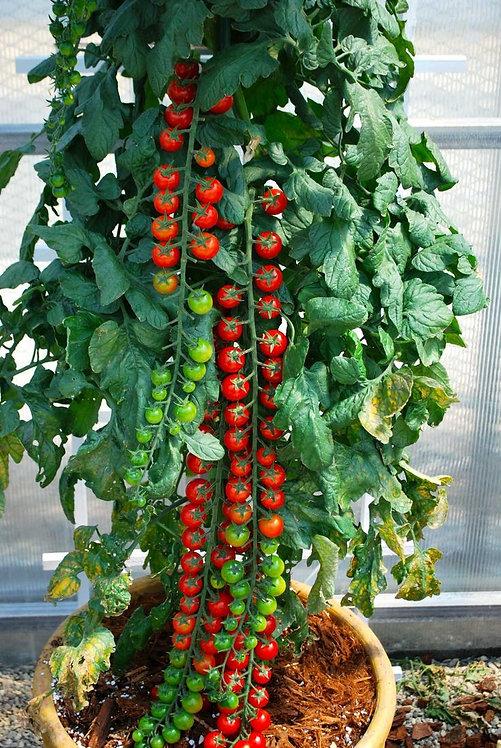 Rapunzel Cherry Tomato