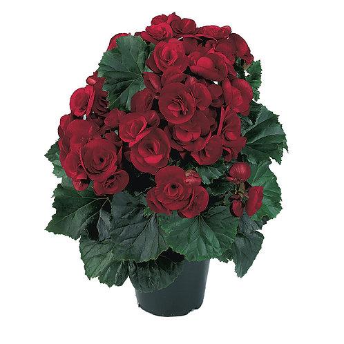 Begonia Solenia® Rieger Velvet Red