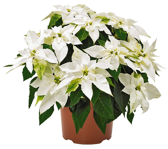 """Poinsettia """"Princettia White"""""""