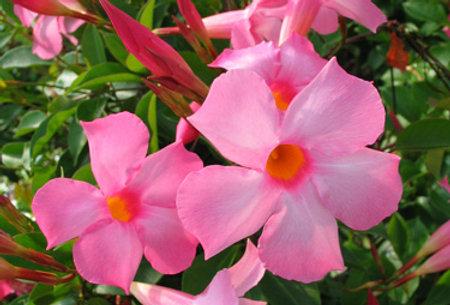Mandevilla Vining Pink Small Leaf