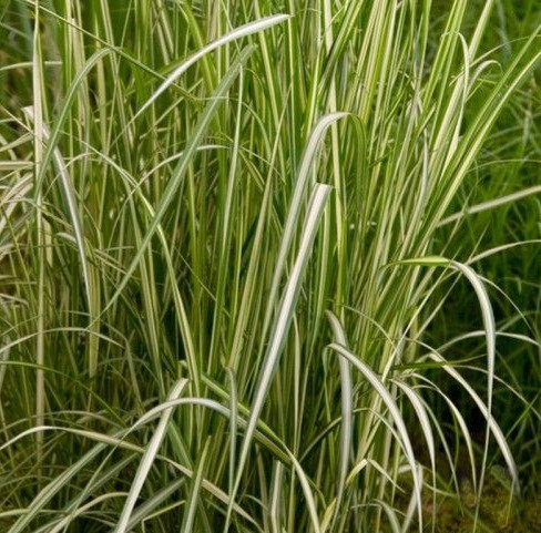 Avalanche Feather Reed Grass   2gal