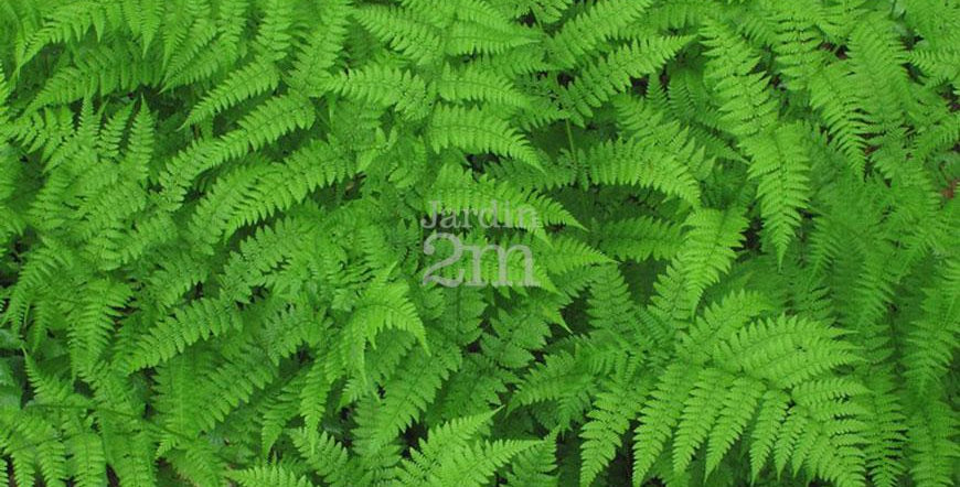 Royal Fern   1gal