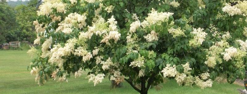 Ivory Silk Lilac Tree   250cm