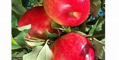 Honeycrisp Apple Tree Malus 'HoneyCrisp'   7 Gal