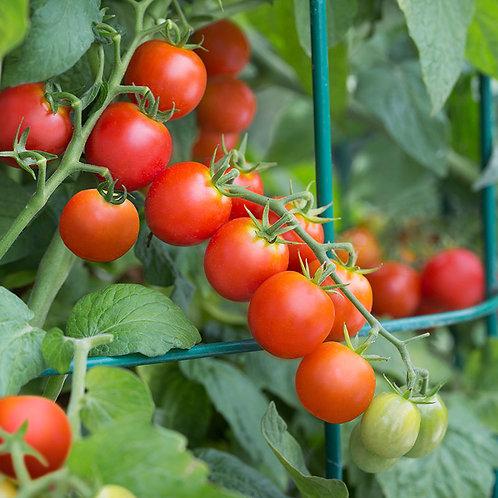 Tidy Treats Tomato