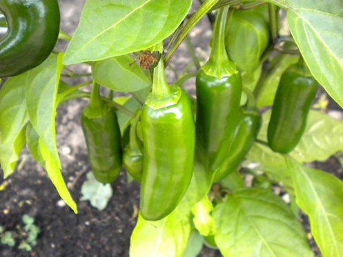 PEPPER HOT  JALAPENO GIGANTE   Box with 8 Plants