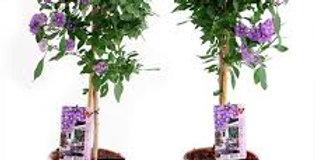 Solanum rantonetii Standard