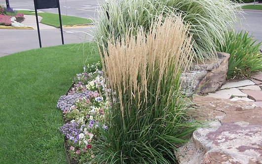 Karl Foerster Feather Reed Grass   2gal