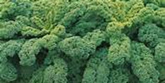 KALE  WINTERBOR   Box with 8 Plants