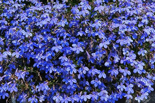 Lobelia Blue