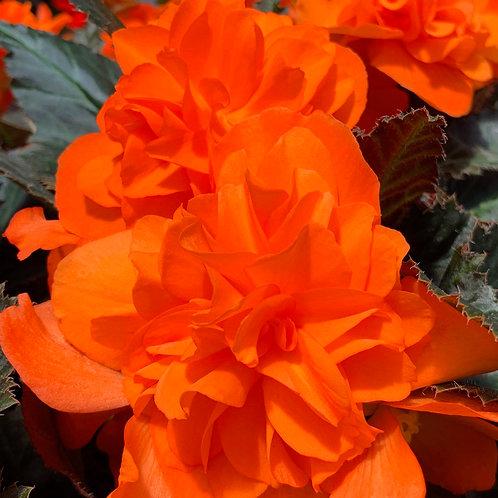 Begonia I'Conia®Portofino Hot Orange