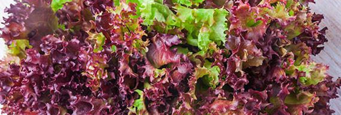 LETTUCE   RED FIRE   Box with 8 Plants
