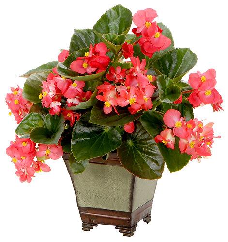 Begonia Surefire® Red
