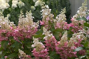 Black Forest Pinky Winky Hydrangea