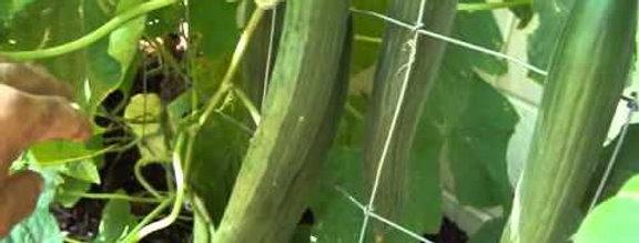 CUCUMBER  ENGLISH   Box with 8 Plants