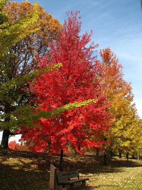 Autumn Fantasy® Maple   200cm16G