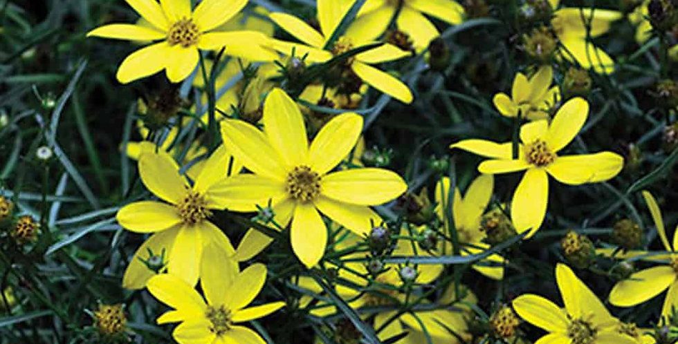 Mayo Clinic Flower of Hope Coreopsis   1gal