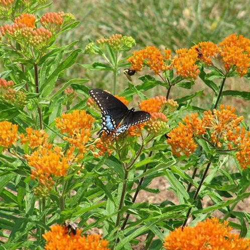 Butterfly Weed   1gal