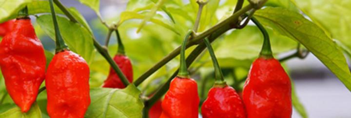 PEPPER HOT  SRIRACHA   Box with 8 Plants