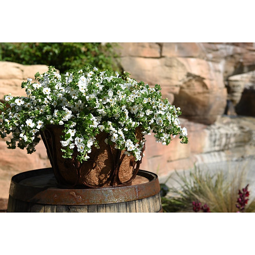 Atlas White Bacopa