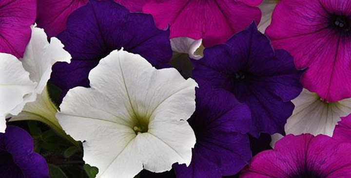 Petunia Easy Wave Great Lakes Mix