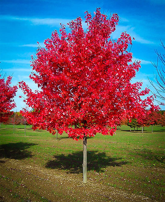 Sunset Red Maple  Acer rubrum 'Sunset'
