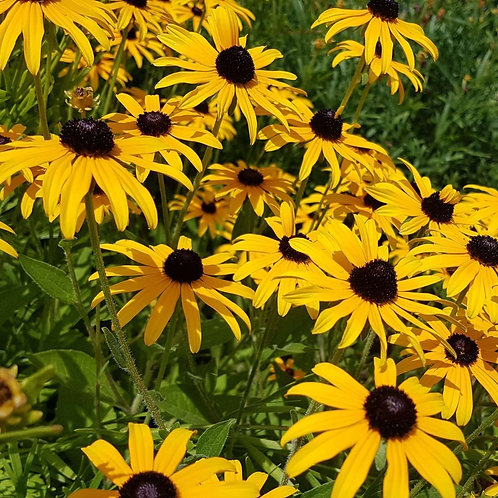 Goldsturm Black-Eyed Susan   1gal