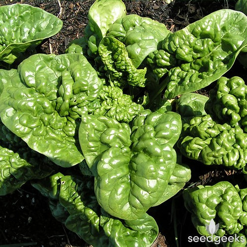 SPINACH  BLOOMSDALE   Box with 8 Plants