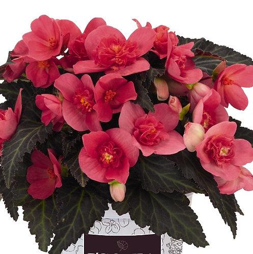 Begonia I'Conia®Portofino First Kiss