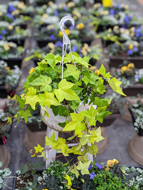 Ivy Basket 'Golden Montgomery'