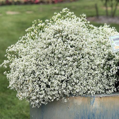 Euphorbia Diamond Snow®
